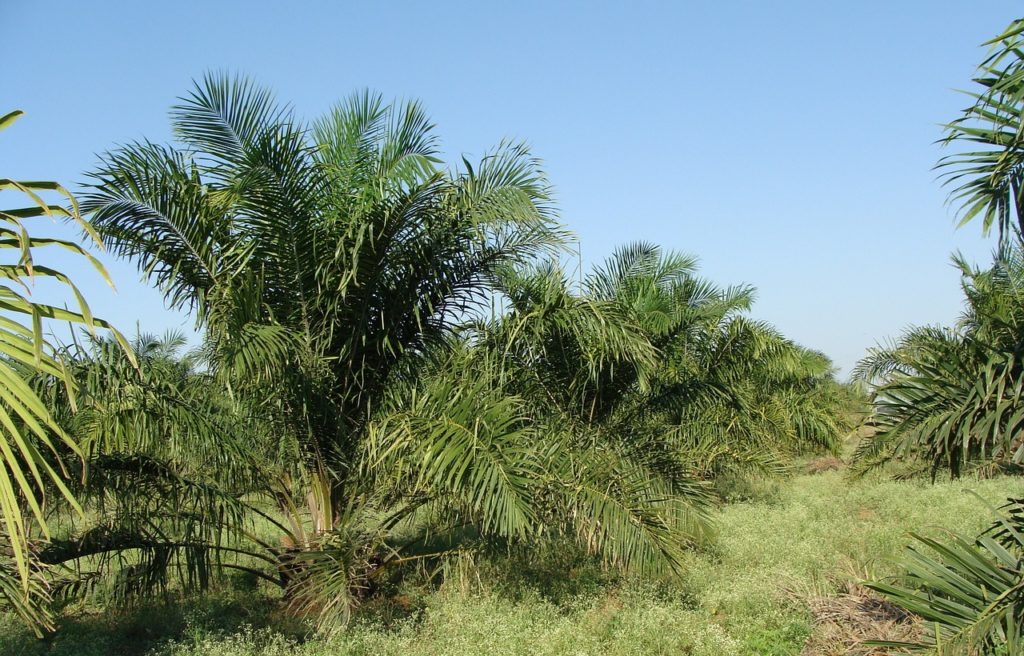 palmöl_plantage_pixabay