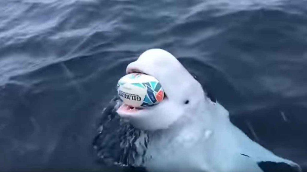 beluga-wal-rugby-ball-