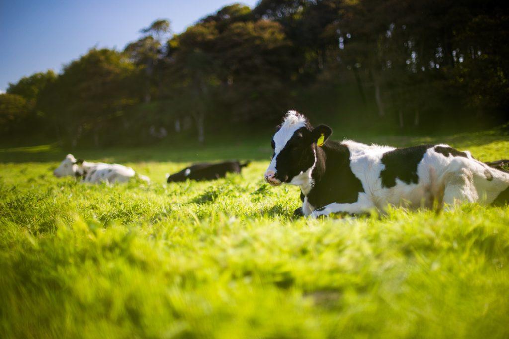 Massentierhaltung_Weidenhaltung-Kühe