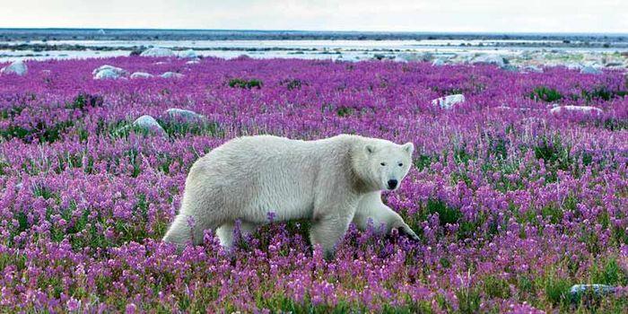 Eisbär in Kanada Tierrettung WWF