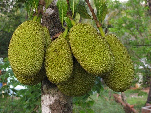 Jackfruit am Baum pixabay